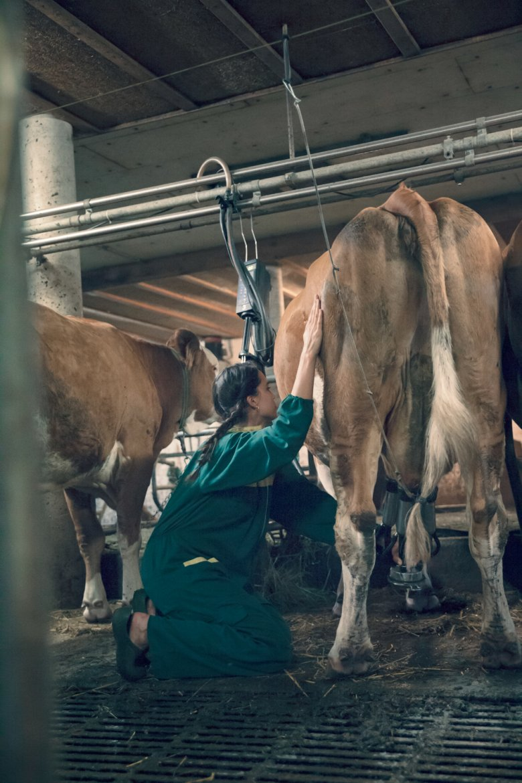Pauline è stupita della pazienza con cui la mucca si sottopone al suo primo, maldestro tentativo di mungitura.