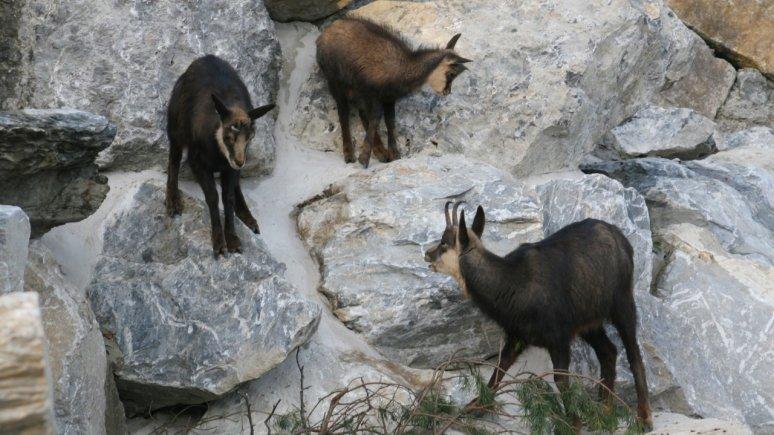 Camosci nello Zoo Alpino di Innsbruck, © Alpenzoo