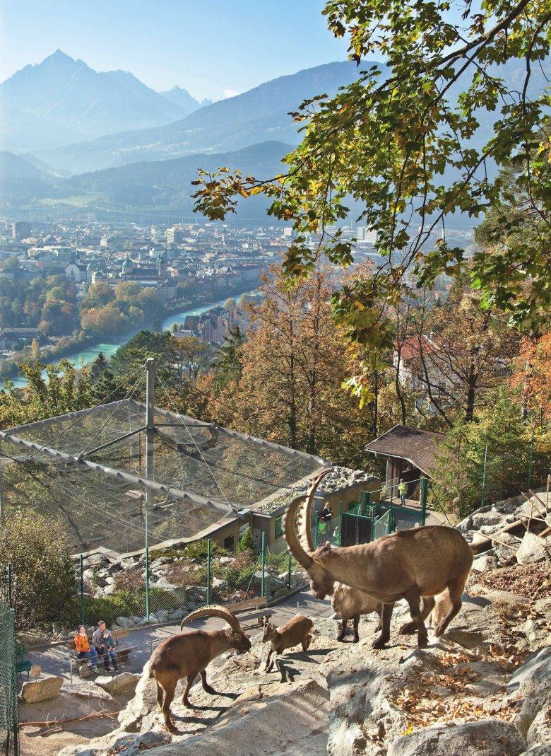 Gli stambecchi delle Alpi ©Innsbruck Tourismus / Christof Lackner