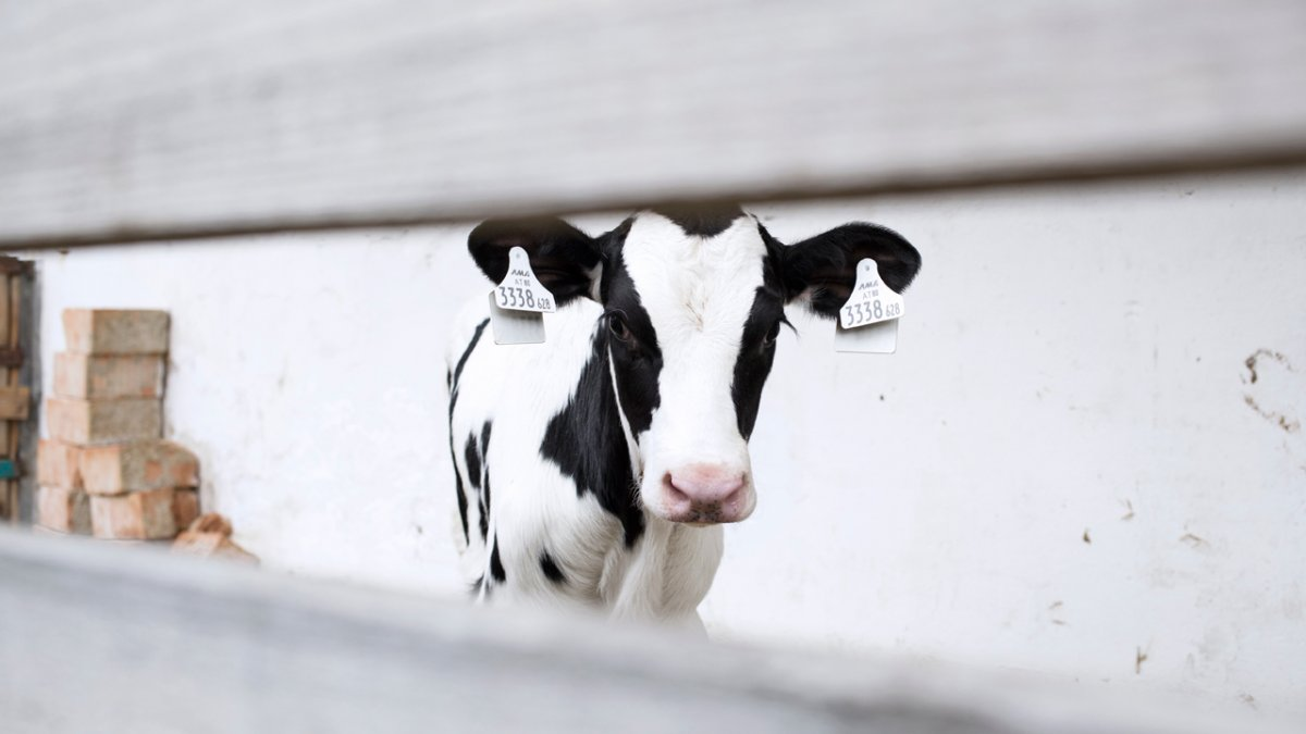 Pechhof, vitello, © Tirol Werbung/Lisa Hörterer