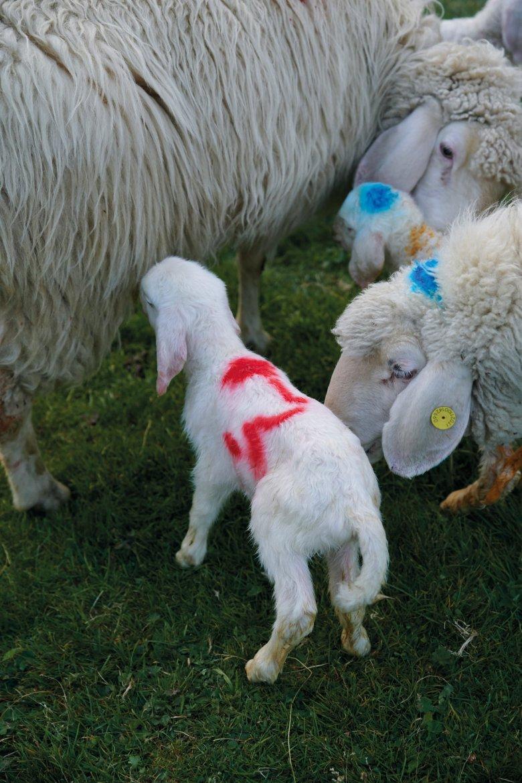 Se l'allattamento procede come deve, mentre succhia dalla mammella l'agnellino scondinzola.