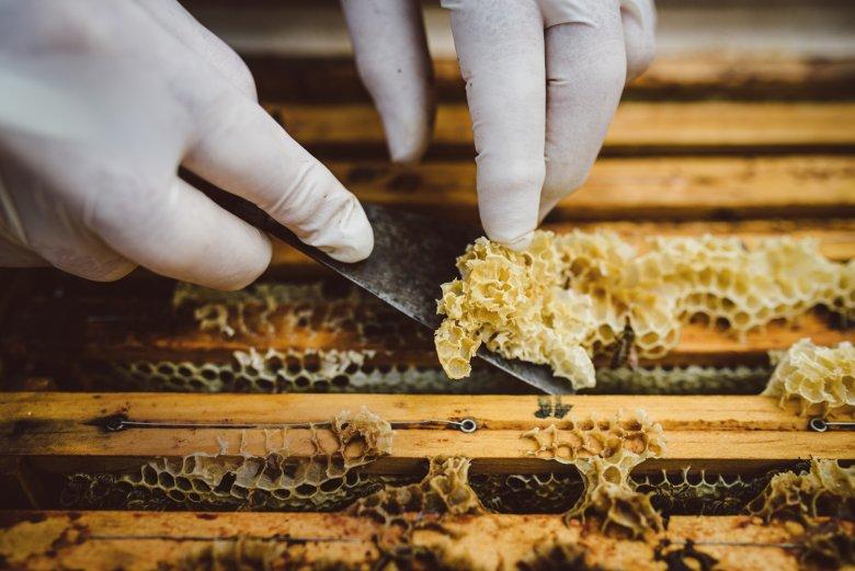Qui il cosiddetto opercolato di cera viene rimosso attentamente per poter estrarre i favi senza danneggiare le api.