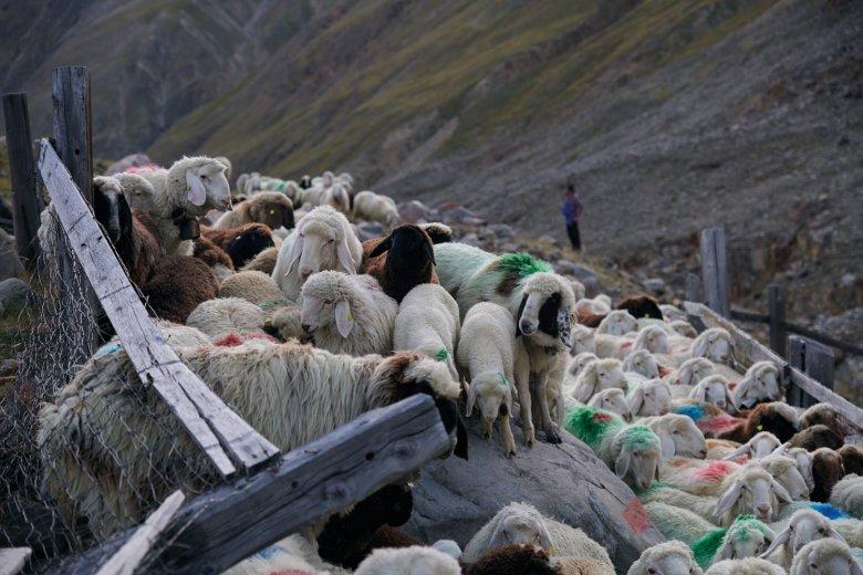 Un groviglio di pecore di montagna: Pecora Alpina Tirolese (Tiroler Bergschaf), Pecora della Val Senales (Schnalser Schaf) e la nero-bruna Pecora del Giura (Juraschaf)