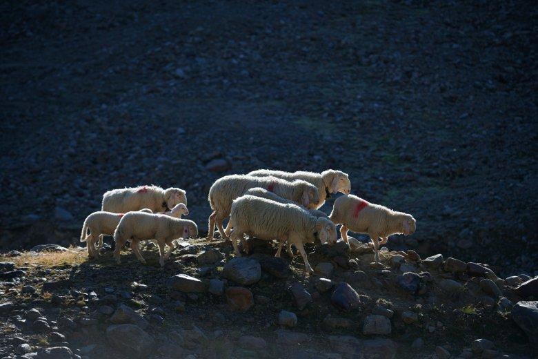 Le pecore sono animali sociali e sensibili. Quando muore una pecora, tutto il gregge soffre. Beeeeeh!